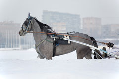 Bets are made. Winter horse racing began at the moscow hippodrome Stock Photos