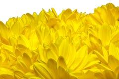 Bett der gelben Chrysanthemeblumen Lizenzfreies Stockbild