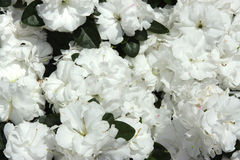 Bett der weißen Rosen Lizenzfreie Stockfotografie