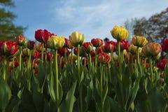 Bett von variagated Tulpen lizenzfreie stockfotografie