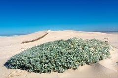 Bett von Wüstenblumen und -anlagen auf Düne Lizenzfreies Stockfoto