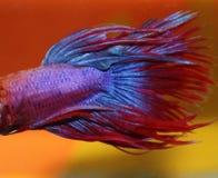 betta蓝色鱼红色 库存照片