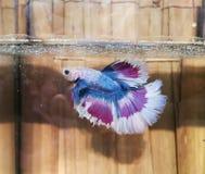 betta鱼红色美丽的半月尾巴  库存照片