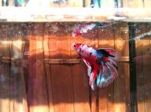 betta鱼红色美丽的半月尾巴  免版税库存图片