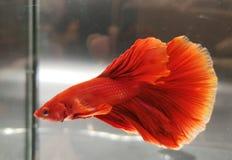 betta鱼红色美丽的半月尾巴  免版税库存照片