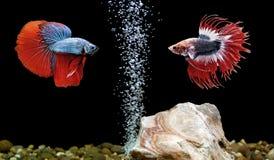 Betta鱼,在水族馆的暹罗战斗的鱼 免版税库存照片
