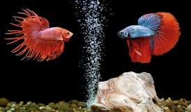 Betta鱼,在水族馆的暹罗战斗的鱼 免版税图库摄影
