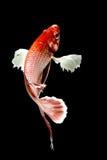 Betta łowi, Chwyta poruszającego moment siamese bój ryba Fotografia Royalty Free