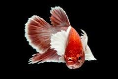 Betta łowi, Chwyta poruszającego moment siamese bój ryba Zdjęcie Royalty Free