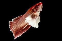 Betta łowi, Chwyta poruszającego moment siamese bój ryba Zdjęcia Stock