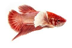 Betta łowi, Chwyta poruszającego moment siamese bój ryba Zdjęcia Royalty Free