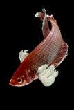 Betta łowi, Chwyta poruszającego moment siamese bój ryba Zdjęcie Stock