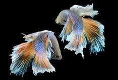 Betta ή ψάρια πάλης Saimese στοκ φωτογραφία με δικαίωμα ελεύθερης χρήσης