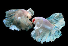 Betta ή ψάρια πάλης Saimese στοκ φωτογραφία