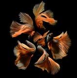 Betta ή ψάρια πάλης Saimese στοκ εικόνες με δικαίωμα ελεύθερης χρήσης