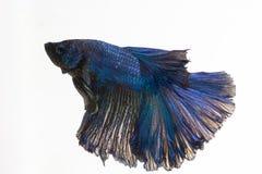 Betta, сиамская воюя рыба Стоковые Изображения RF