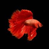 红色暹罗战斗的鱼, betta鱼 免版税图库摄影