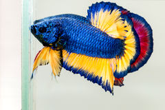 Betta鱼 库存照片