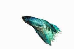 Betta鱼 库存图片