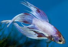 Betta Royalty Free Stock Image