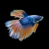 betta Azul-amarelo Imagens de Stock Royalty Free