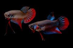 Betta boju ryba Zdjęcie Stock