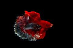 Betta boju ryba Zdjęcia Stock