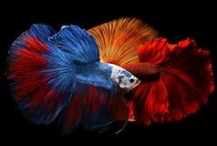 Betta de lujo colorido mezclado Imagen de archivo libre de regalías