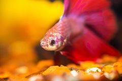 Betta in een aquarium Royalty-vrije Stock Afbeeldingen