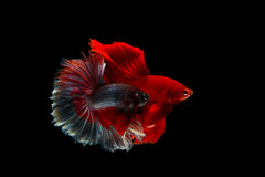 Betta fighting fish Stock Photos