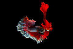 Betta fighting fish Stock Image