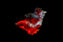 Betta fighting fish Stock Images
