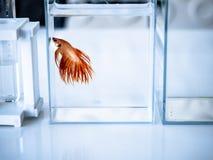 Betta-Fischdekor auf Schreibtisch Lizenzfreies Stockbild