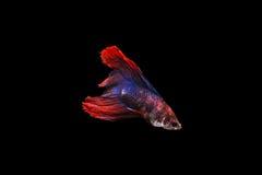 Betta Fische stockbilder
