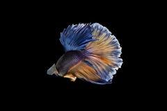Betta Fische stockfoto