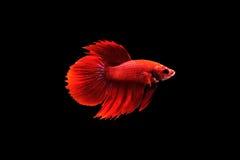 Betta Fische stockfotografie