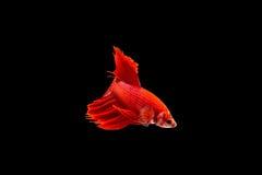 Betta Fische lizenzfreies stockfoto