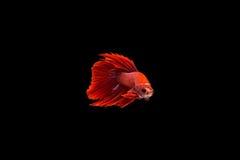 Betta Fische lizenzfreie stockfotos