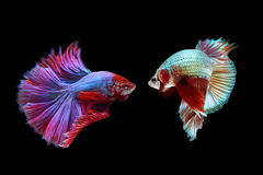 Betta Fische Stockbild