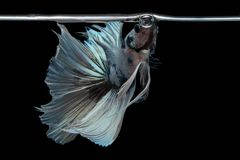 Betta-Fische in der Freiheitsaktion Lizenzfreies Stockfoto