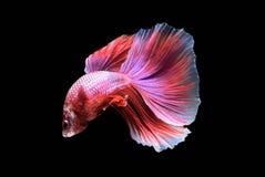Betta-Fische in der Freiheitsaktion Stockbilder