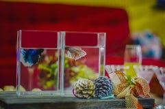 Betta-Fische, siamesische kämpfende Fische, in einem rechteckigen Aquarium, setzen es auf einen Holztisch, der mit Dekorationen u Stockbilder