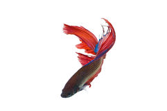 The betta fish Stock Photo