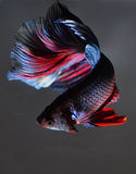 The betta fish. On the white background Royalty Free Stock Images