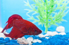 Betta fish Stock Photos