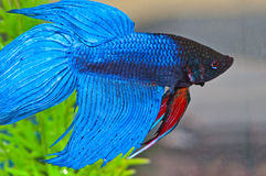 Betta Fish Royalty Free Stock Photos