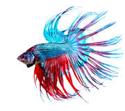 Betta Fish. Closeup. Colorful Dragon Fish Royalty Free Stock Image