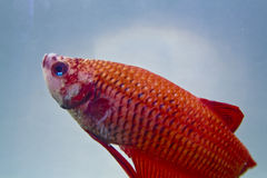 Betta Fish. Red betta fish with fins deflated on blue background Royalty Free Stock Image