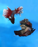 Betta fish in action. Betta fishes in fighting position Royalty Free Stock Photo