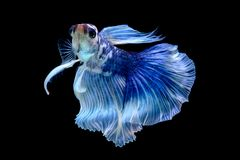 Betta Fish in the aquarium royalty free stock photography